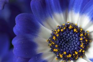 Closeup of a blue and white daisy